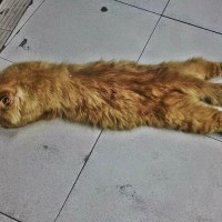 Pisica lenesa