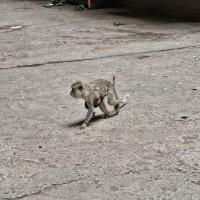 Monkey @ Batu Caves